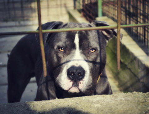 angry-pit-bull-attorney
